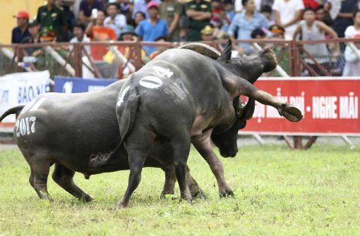 Mann bei Wasserbüffelkampf aufgespießt