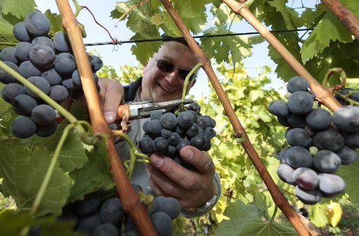 """""""Ich habe auch schon guten Trollinger getrunken."""" – Damit beleidigen Sie nicht nur einen Großteil der schwäbischen Weinfreunde, sondern outen sich als Unkundiger. Natürlich gibt es guten Trollinger. Man muss ihn nur zu den passenden Speisen und vor allem leicht gekühlt genießen.  Foto: factum/Bach"""