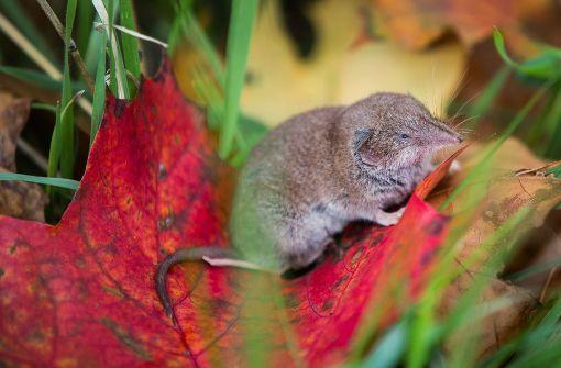 Eine Spitzmaus ist keine Maus, sondern gehört zu den Insektenfressern. Foto: dpa