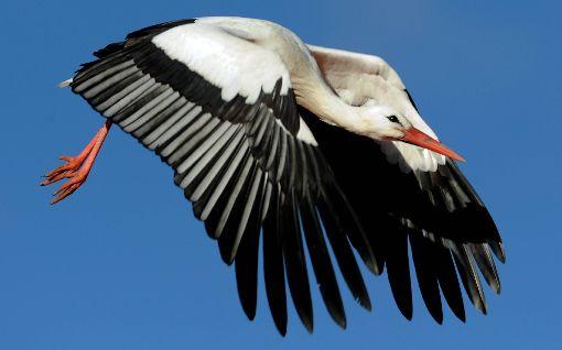 Wann kehrt unser dritter Storch heim?