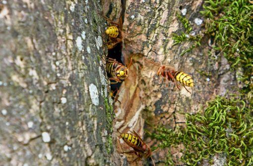 Expertin gibt Tipps bei Hornissen und Wespen
