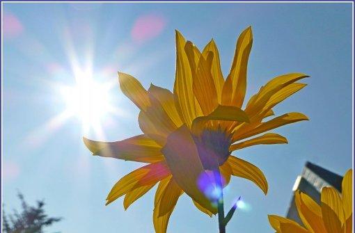 Auch die Sonnenblume genießt die letzten Sonnenstrahlen. Foto: Leserfotograf blickwinkel