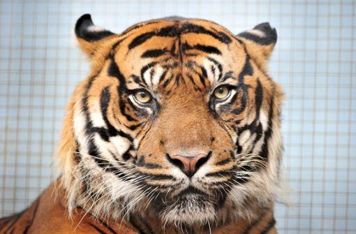 Was tun, wenn ein Tiger ausbricht?