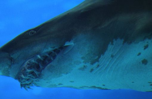 Hai attackiert Britin im Südatlantik