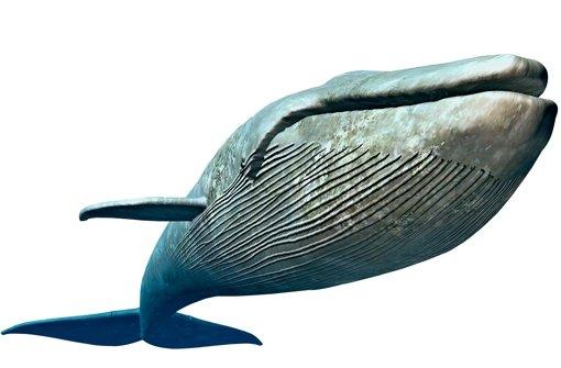 bBlauwal/bbr Unterarten: Nördlicher Blauwal, Antarktischer Blauwal, Zwerg-Blauwal.br Lebensraum: Das größte derzeit lebende Meeressäugetier ist in allen Weltmeeren verbreitet.br Heimat: Der Nördliche Blauwal treibt durch den Nordatlantik und Nordpazifik, der Antarktische Blauwal in den Meeren um die Antarktis und der Zwerg-Blauwal im südlichen Indischen Ozean und Südpazifik.br Bestand: Insgesamt mehr als 6000 Tiere.br Status: Stark gefährdet. Foto: Fotolia