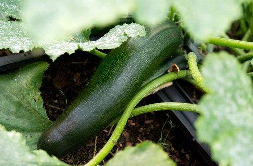 Sehr selten kann eine Zucchini-Frucht  giftige Bitterstoffe enthalten. Foto: dpa-tmn
