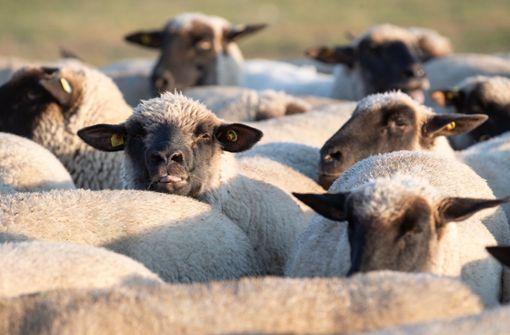 Mann vergeht sich an Schaf - Tier notgeschlachtet