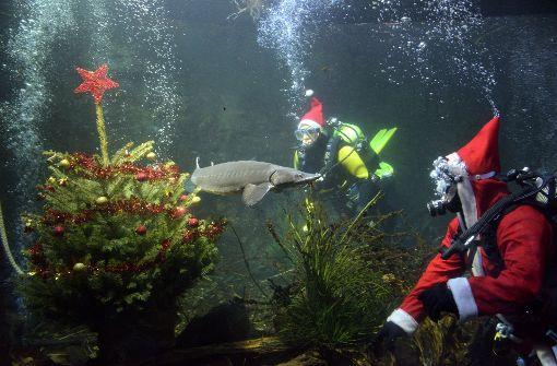 christbaum unter wasser weihnachtstaucher schm cken ulmer aquarium baden w rttemberg. Black Bedroom Furniture Sets. Home Design Ideas