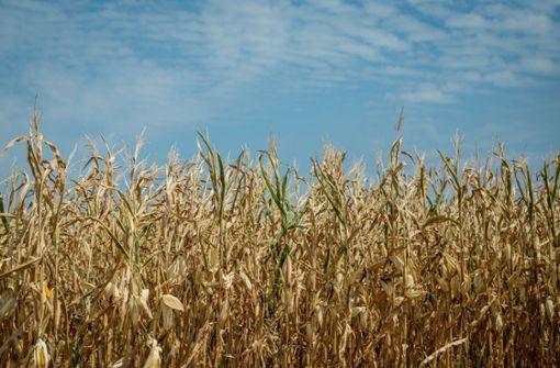 Cannabisplantage mit 300 Pflanzen in Maisfeld gefunden