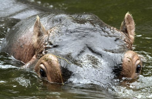 Ranger töten wegen Dürre Nilpferde und Büffel