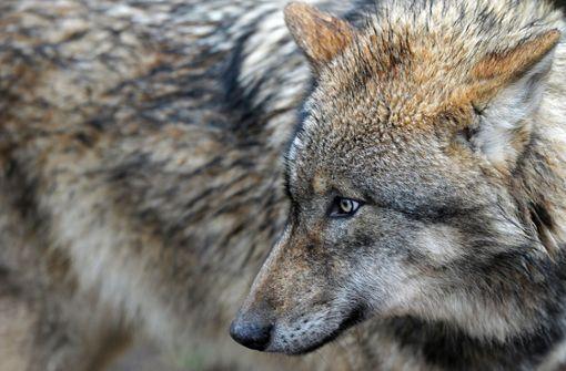 Grüne wollen keine wolfsfreien Zonen