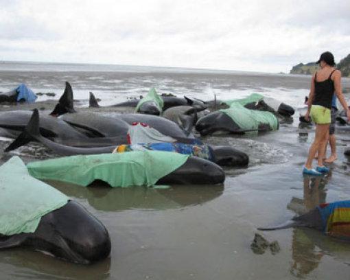 43 gestrandete Wale gerettet