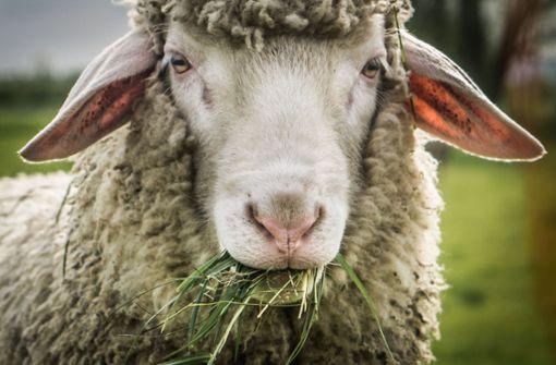 Trächtiges Schaf gestohlen und geschlachtet