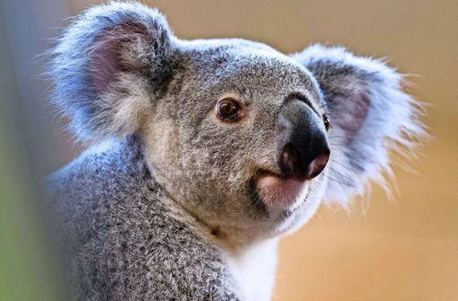 Wie niedlich! Wilhelma möchte Koalas zeigen