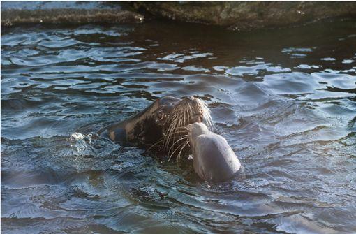 Seelöwen erfolgreich umgezogen – Bulle mit Kran transportiert
