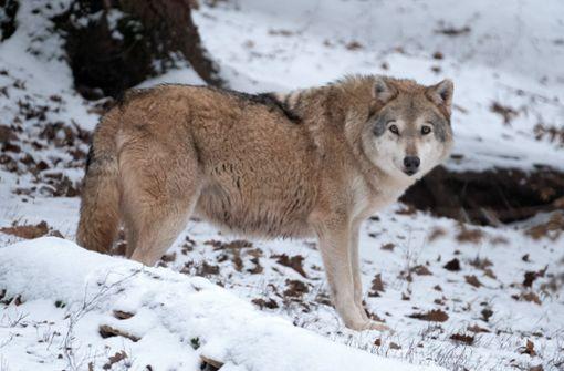 Bauernverband fordert Obergrenze für Wölfe