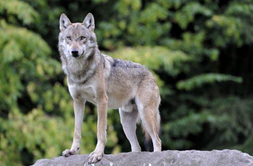 Aktuell geht man von einem bis zwei Wölfen in Baden-Württemberg aus. Foto: dpa