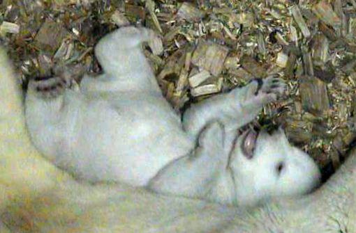Münchner Eisbärenbaby wächst und gedeiht
