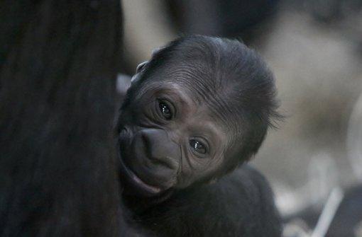 Gorilla-Baby an Weihnachten geboren