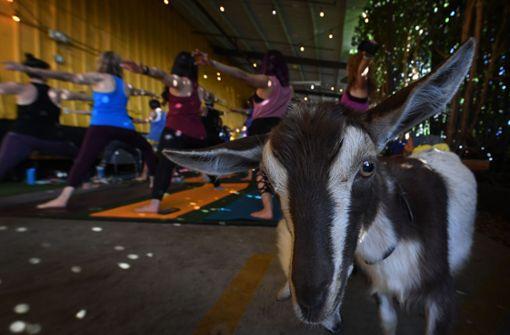 """""""Goat Yoga"""" für extra Bauchmuskeln"""