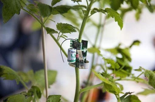 Ein Sensor fühlt der Tomate den Puls