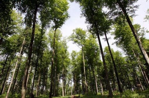 Im Gegensatz zu normalen Wäldern dürfen Bannwälder nicht bewirtschaftet werden Foto: dpa