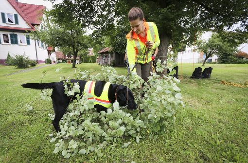 Suchhunde durchstöbern Gebüsche auf der Suche nach dem Käfer. Foto: factum/Granville