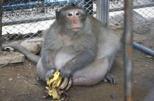 Thailändischer Affe auf Diät gesetzt