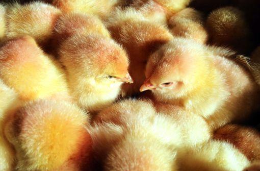 Zurzeit werden zahllose männliche Küken getötet, weil sie keine Eier legen. Foto: dpa