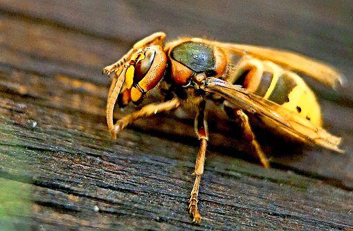 Wild gewordene Hornissen töten 87-Jährige