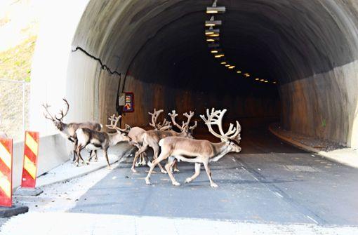 Rentiere flüchten in Autotunnel