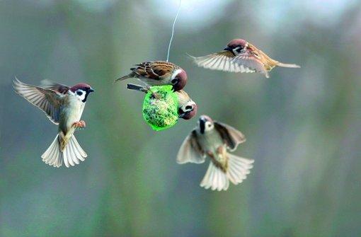 """Aus der Familie der Sperlinge sind die Feldsperlinge und die ... Foto: """"Vögel füttern, aber richtig"""", Peter Berthold, Kosmos Verlag Stuttgart"""