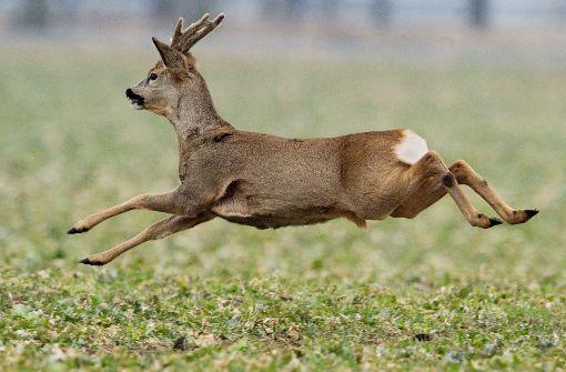 Jäger gehen von Raubtier aus