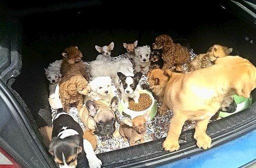 Nach einer langen Reise, oft durch halb Europa, werden die Hundewelpen häufig aus dem Kofferraum heraus verkauft. Foto: Bundespolizei/dpa