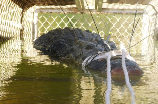 4,7 Meter lang und 600 Kilogramm schwer: Das Riesen-Krokodil, das Wildhüter im Norden Australiens gefangen haben. Foto: dpa