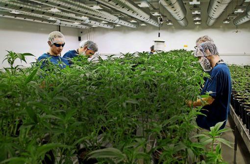 Wachstumsmarkt Cannabis