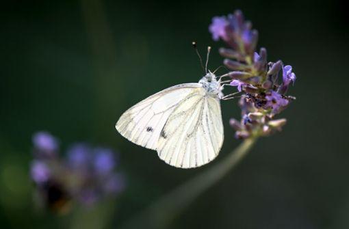 Die Hitze hat dafür gesorgt, dass sich Schmetterlinge prächtig entwickeln konnten. Foto: dpa