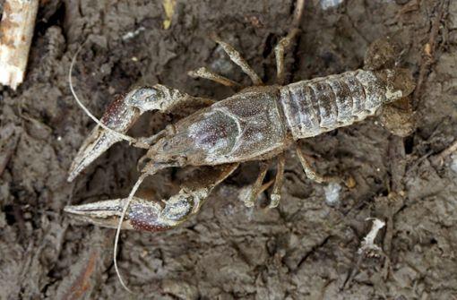 Killer-Krebs bedroht Arten und Gewässer