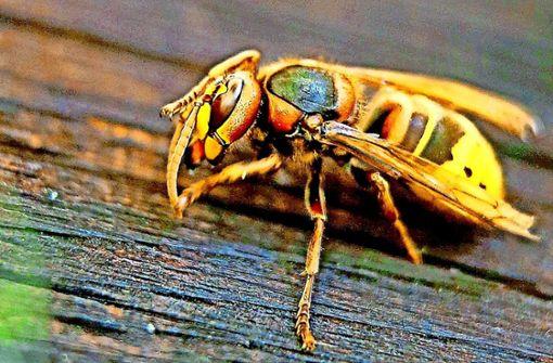 Hornisse: Größe: 18 bis 35 Millimeter. Aussehen: rötlich-brauner Vorderleib, gelb-schwarzer Hinterleib; nicht oder kaum beharrt. Nahrung: Nektar, Früchte, Insekten. Foto: dpa