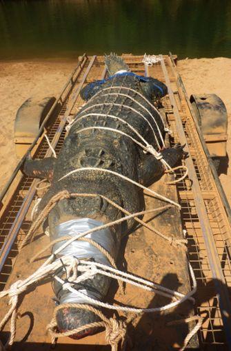 Dieses von Northern Territory Parks and Wildlife zur Verfügung gestellte Foto zeigt ein 4,7 Meter langes und rund 600 Kilogram schweres Krokodil, das im Katherine River, einem Fluss im Northern Territory, gefangen wurde. Foto: dpa