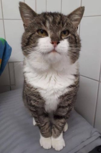 bBärle /bist ein sehr imposanter Kater, der dringend ein neues Zuhause sucht. Da er FIV-positiv ist, darf er nur als Einzeltier oder mit einer weiteren Katze mit derselben Krankheit leben. Er wurde 2010 geboren. Foto: Tierheim Böblingen