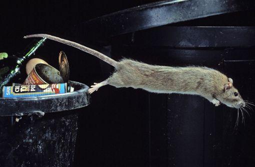Ratten erobern die Straßen der Stadt