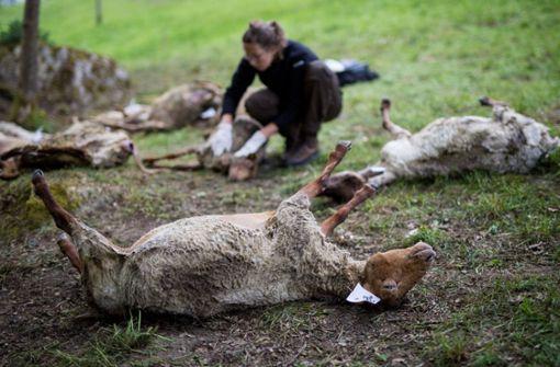 Genanalyse bestätigt: Wolf hat Schafe gerissen
