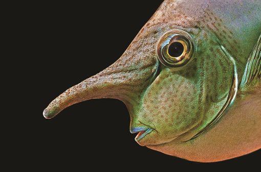 Etwa dem Nasendoktorfisch... Foto: Brusius