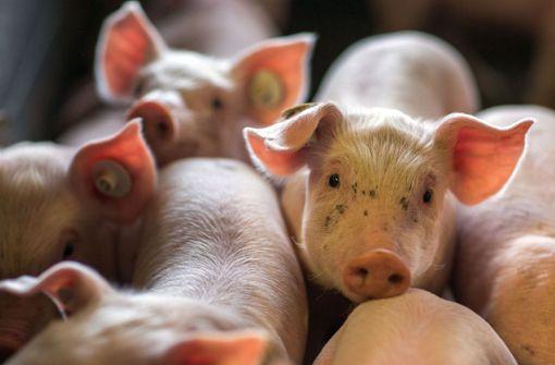 Ferkeltransporter verunglückt - zahlreiche Tiere sterben