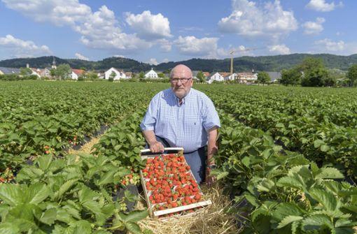 Erdbeeren – verlockend rot und überaus empfindlich