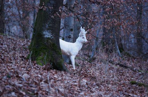 Weißer Rehbock verzaubert die Wälder