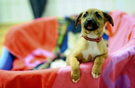 Nur noch heute kann man sich für diesen süßen Welpen und seine sieben Geschwister beim Tierheim bewerben. In unserer Bildergalerie können Sie einen Blick auf die kleinen Mischlinge werfen. Foto: Michele Danze