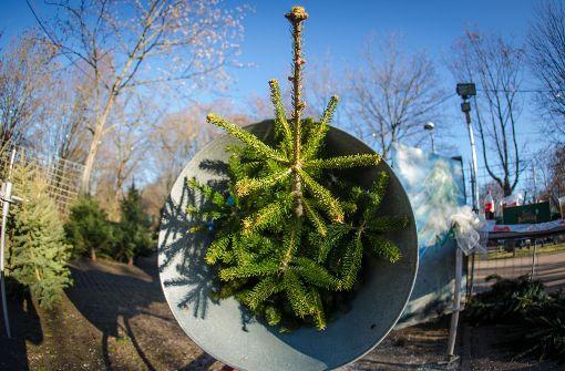 So viel kosten die Weihnachtsbäume in diesem Jahr