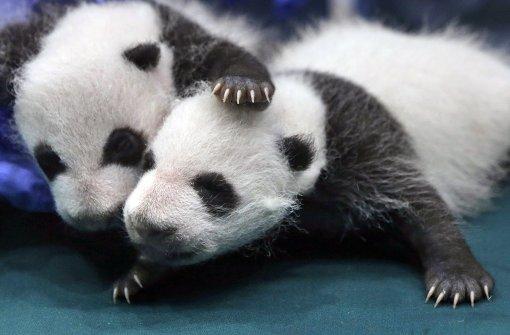 Hoffnung für den Panda, Gefahr für den Berggorilla